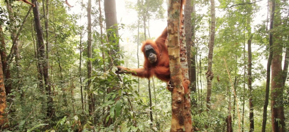 The Last Orangutans