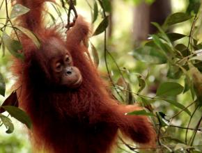 orangutan-sumatera-sos-volcom